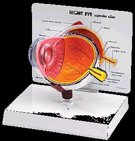 Small Eye Model-0