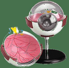 Model of Eye